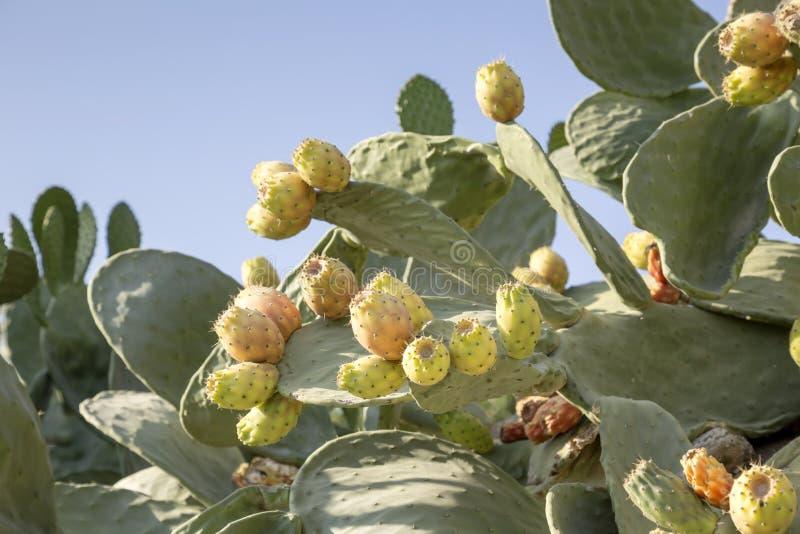 Cactus comestible - opuntia de figue de Barbarie image stock