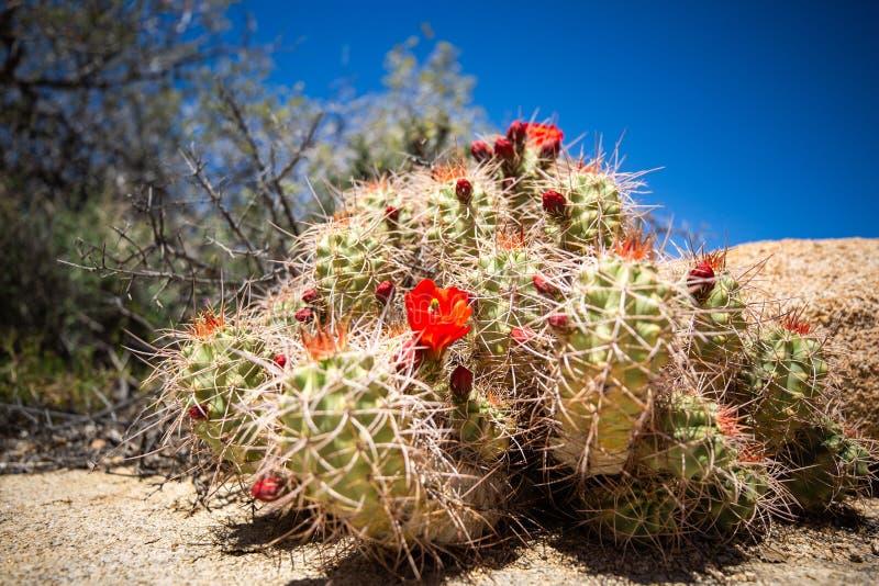 Cactus con el parque nacional de la yuca de las flores foto de archivo