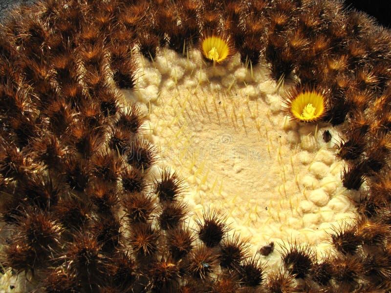 Cactus con i fiori fotografia stock libera da diritti