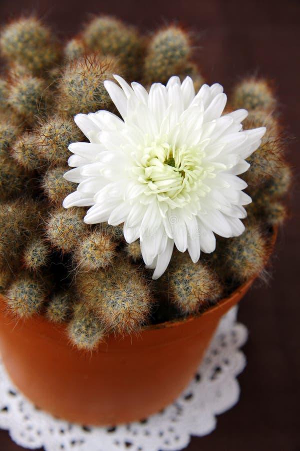 Cactus con il fiore bianco immagine stock