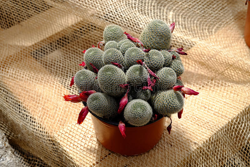 Cactus con il fiore rosa fotografia stock libera da diritti