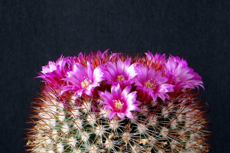 Cactus, con la corona dei fiori rosa fotografie stock