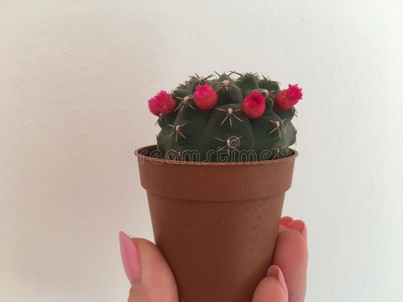Cactus con las pequeñas flores en el pote a disposición en el fondo blanco foto fotos de archivo