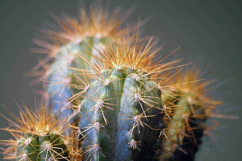 Cactus con le spine dorsali giallo arancione fotografie stock libere da diritti