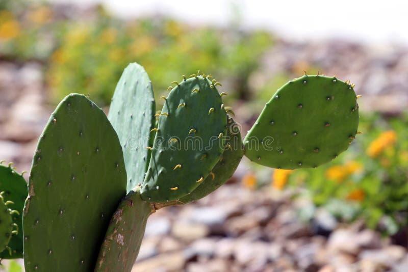 Cactus con marrón de la fruta fotos de archivo