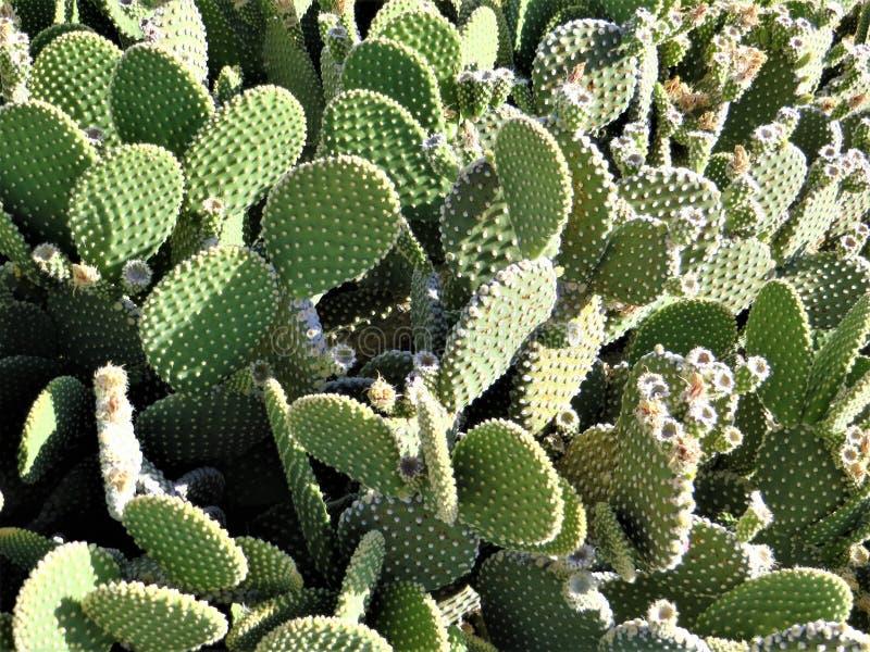 Cactus con marr?n de la fruta foto de archivo libre de regalías