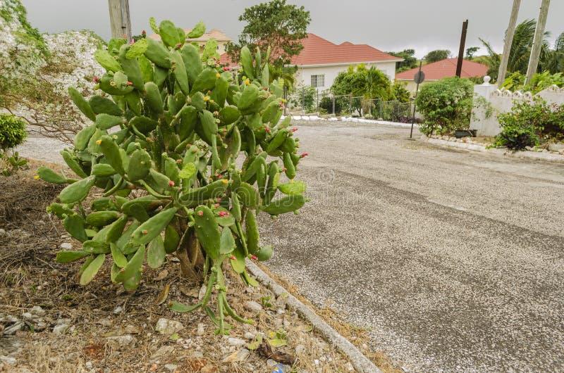 Cactus con Tuna At Roadside imagenes de archivo