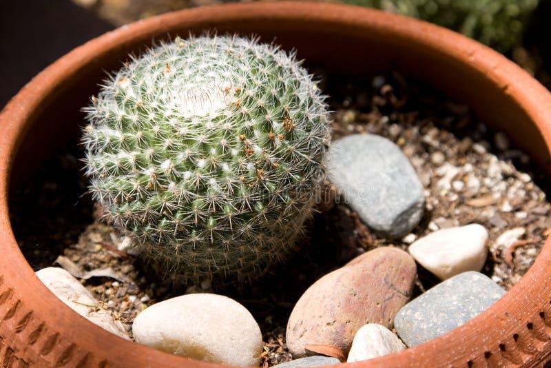 Cactus conservato in vaso immagini stock libere da diritti