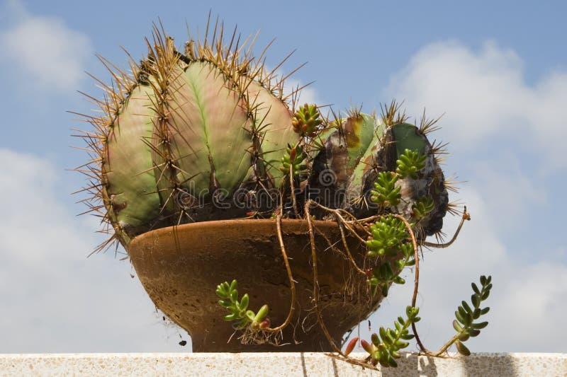 Cactus conservato in vaso sulla parete fotografia stock libera da diritti