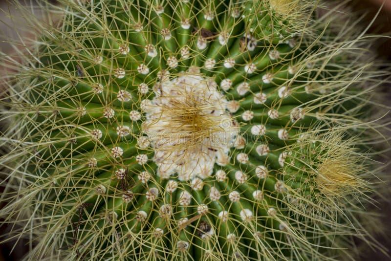 Cactus coperto di spine da spese generali immagini stock libere da diritti