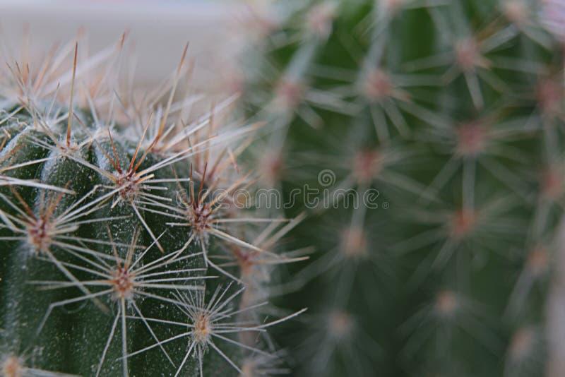 Cactus coperto di spine due fotografia stock