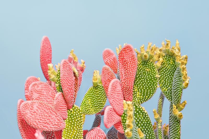 Cactus coral plant on Blue. Minimal. Pop Art Style. Cactus in Coral Green color. Minimal trendy creative stillife on blue design background. Close-up coral royalty free stock photo