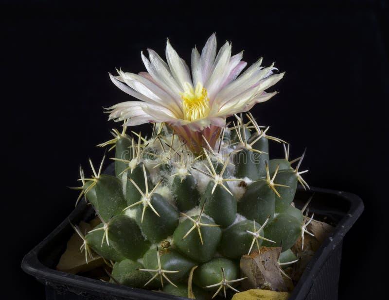 Cactus Coryphantha maiz-tablasensis Blooming, Isolated On Black stock photo