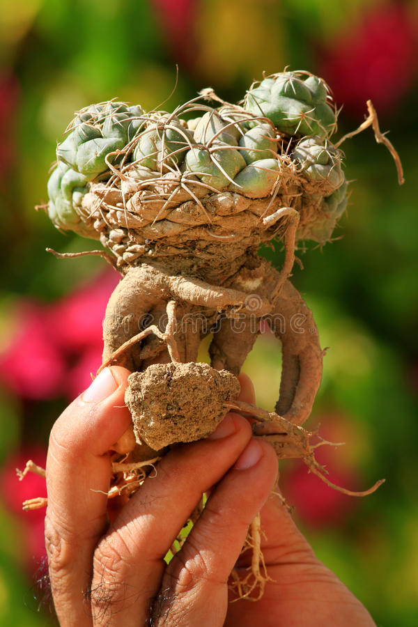 Cactus déraciné photographie stock libre de droits