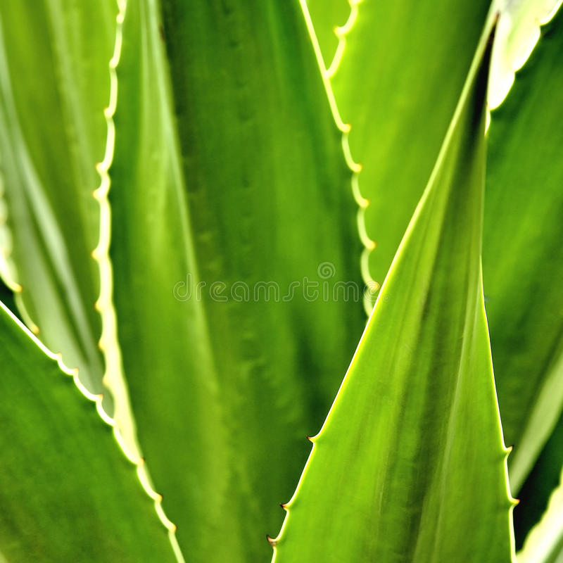 Cactus d'agave image stock