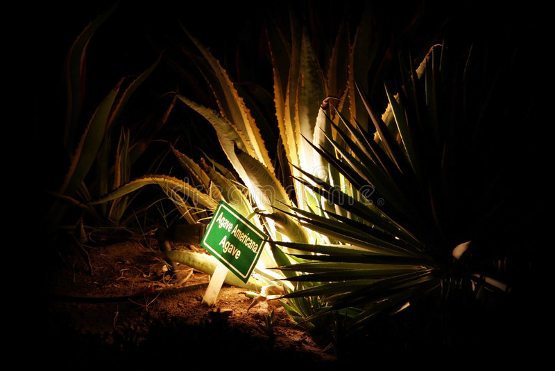 Cactus d'agave photos libres de droits