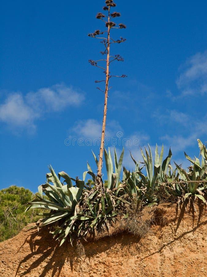 Cactus d'agave en nature libre photographie stock