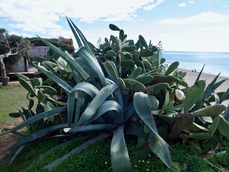 Cactus d'agave en nature libre image stock