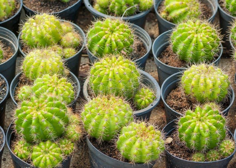 Cactus d'or de bille photographie stock libre de droits