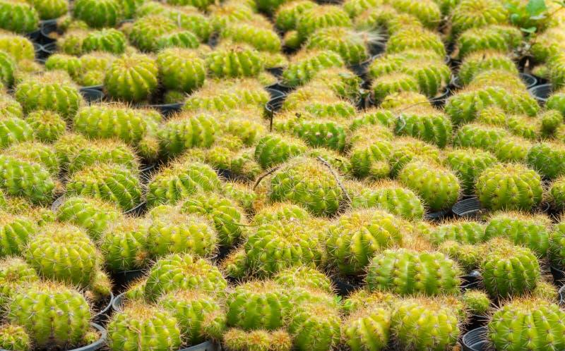 Cactus d'or de boule images libres de droits