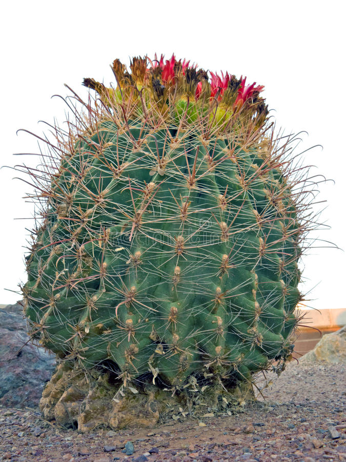 Cactus d'hameçon de baril de l'Arizona photo stock