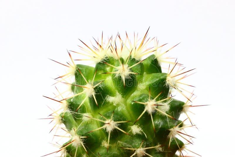 Cactus d'isolement sur le fond blanc images stock