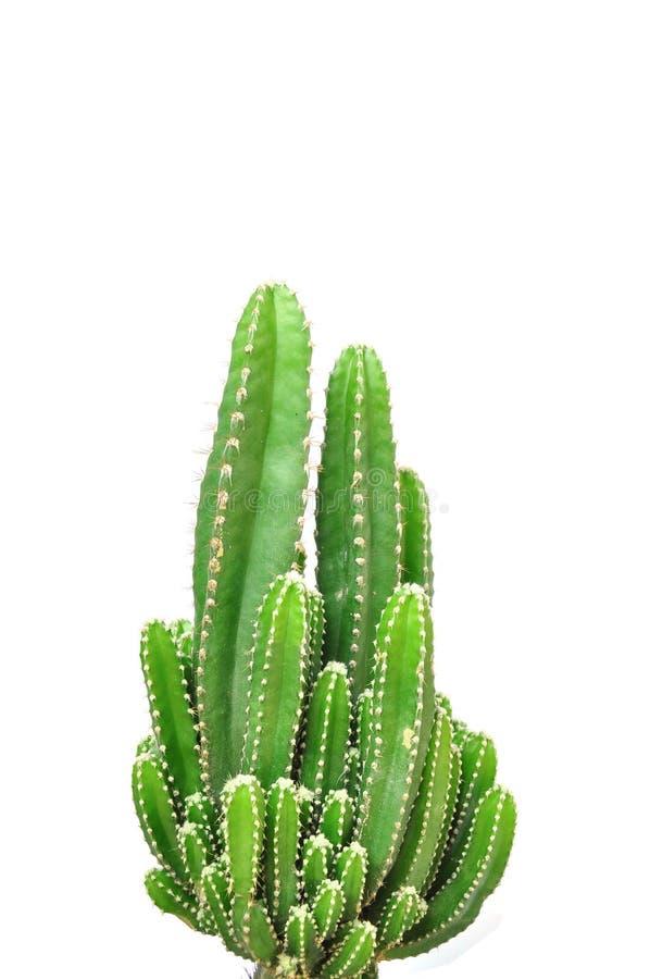 Cactus d'isolement sur le fond blanc photos libres de droits