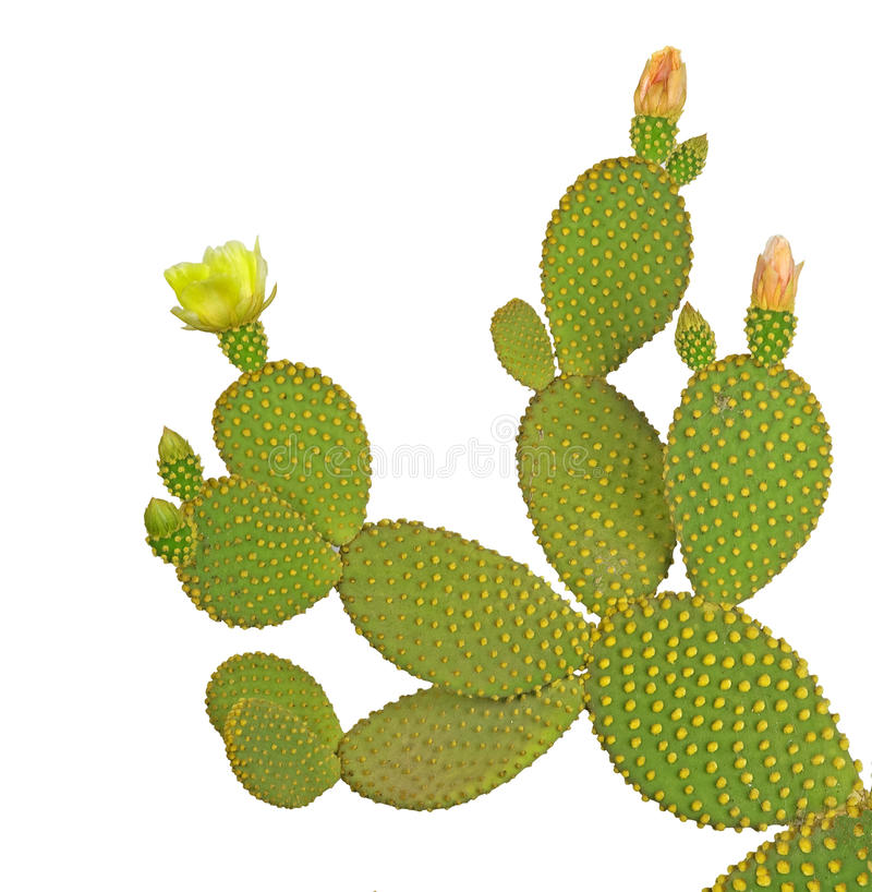 Cactus d'opuntia photos libres de droits