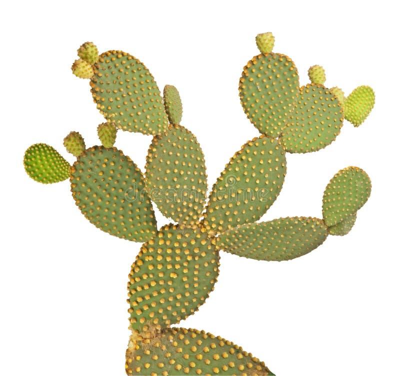 Cactus d'opuntia images libres de droits