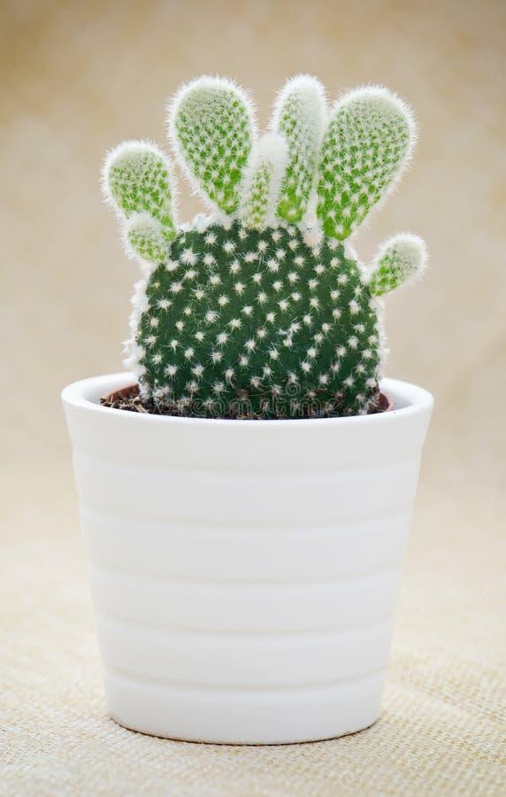 Cactus d'oreilles de lapin (microdasys d'opuntia) photos stock