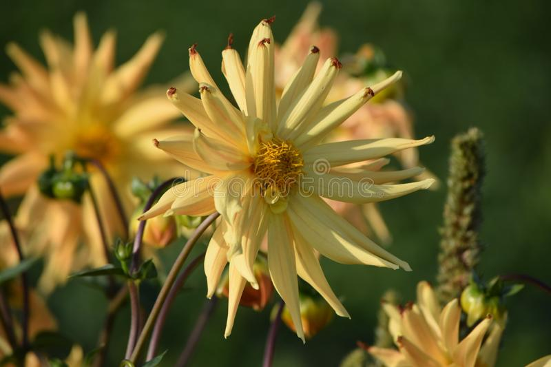 Cactus dahlia. Yellow Cactus-dahlia in her late Bloom royalty free stock photos