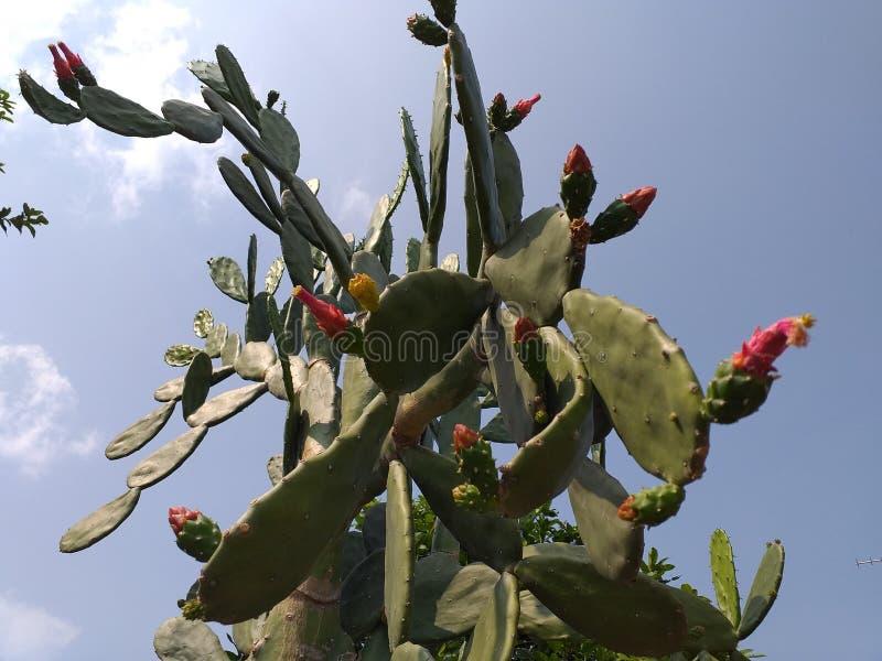 Cactus dall'Asia che fiorisce ogni estate con un colore rosso sui fiori immagine stock libera da diritti
