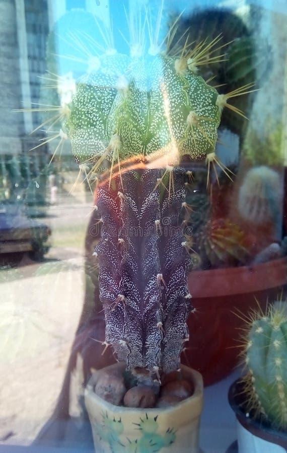 Cactus dans des pots derrière un verre de fenêtre un jour ensoleillé Les réflexions d'une personne debout, une rue de ville, mais images libres de droits