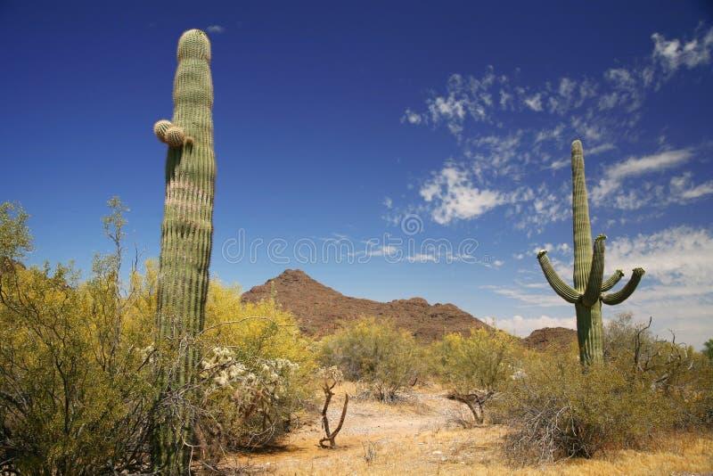 Cactus dans la pipe d'organe photo libre de droits