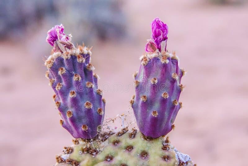 Cactus dans le désert du Nevada photographie stock