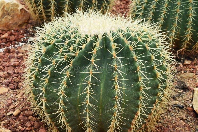 Cactus dans le désert, fond de vert de nature de cactus photographie stock libre de droits