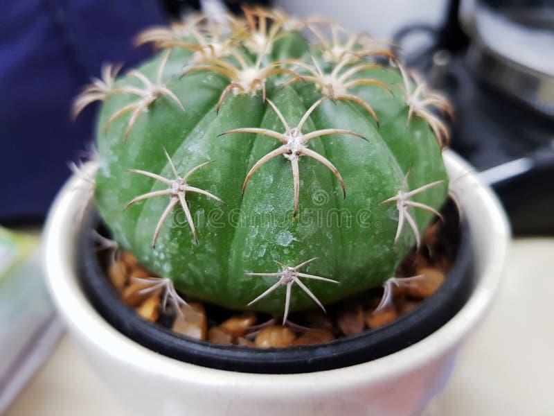 Cactus dans le désert, cactus sur la roche, fond de vert de nature de cactus, plan rapproché domestique de cactus image stock