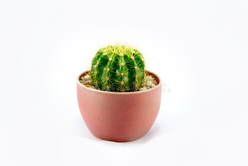 Cactus dans le pot en plastique images libres de droits