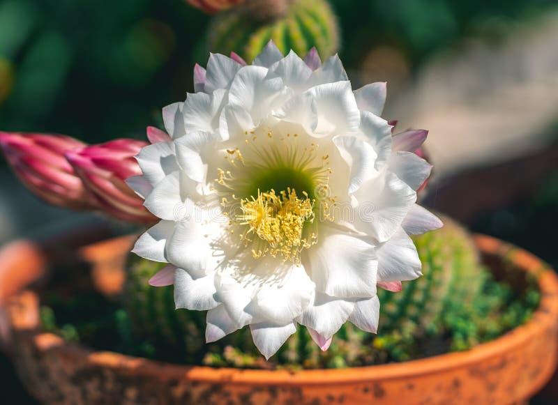 Cactus dans un pot image stock