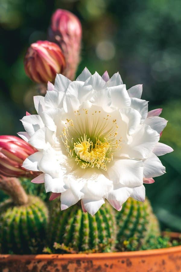 Cactus dans un pot images stock