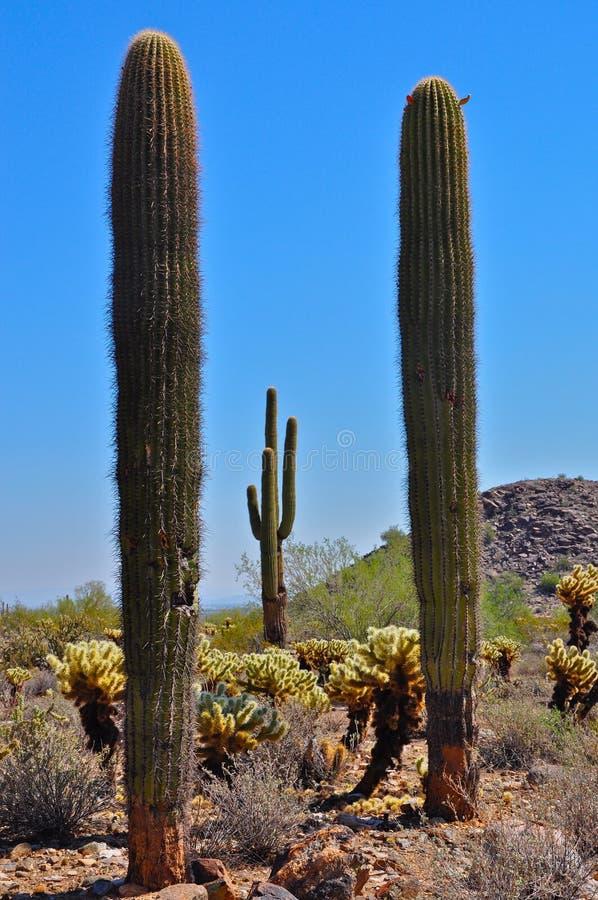 Cactus 1 de Arizona foto de archivo