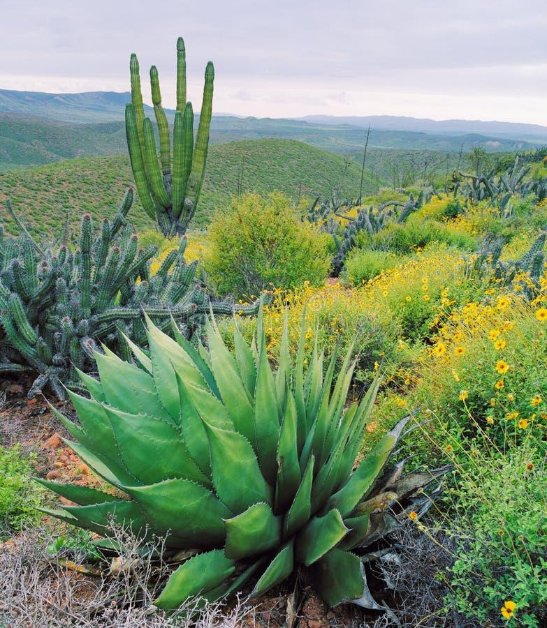 Cactus de Baja photographie stock