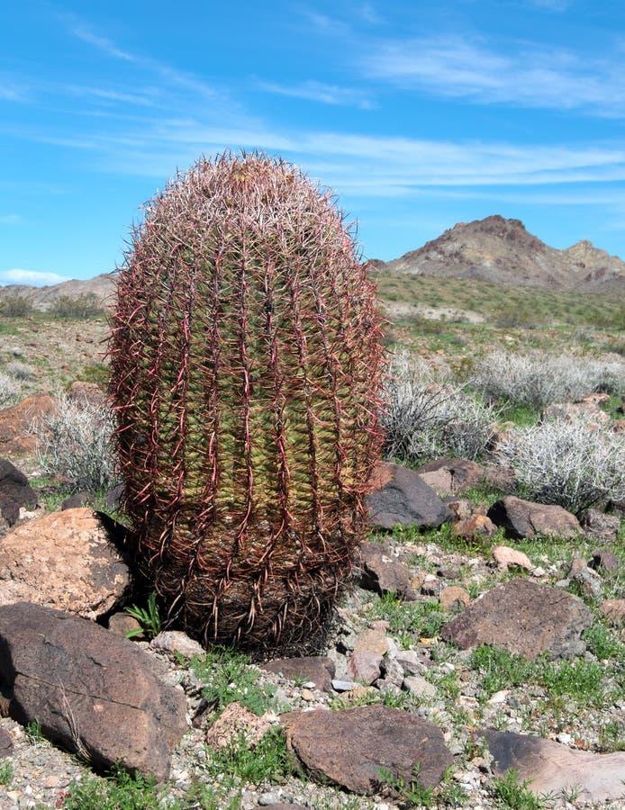 Cactus de baril énorme, désert de l'Arizona images stock
