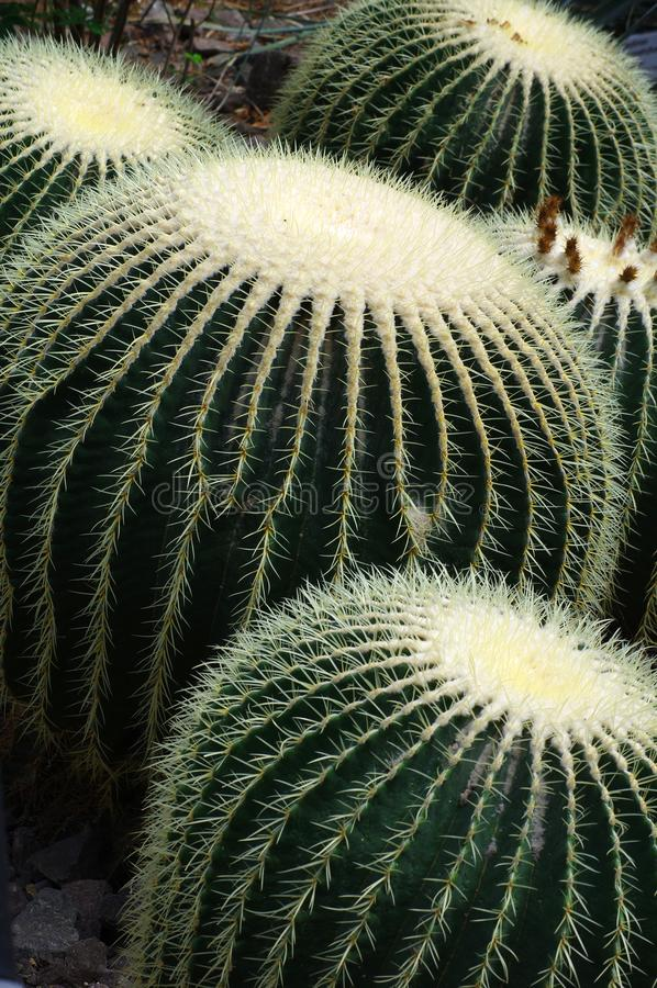 Cactus de baril d'or photos libres de droits