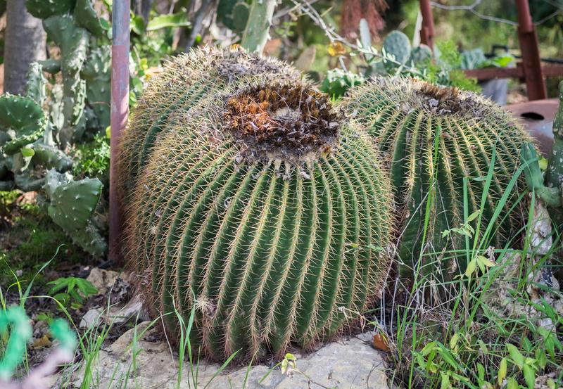 Cactus de baril d'or ou boule d'or photos stock