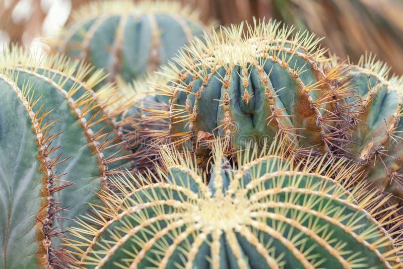 Cactus de baril d'or, usine d'Echinocactus Grusonii, plan rapproché image stock