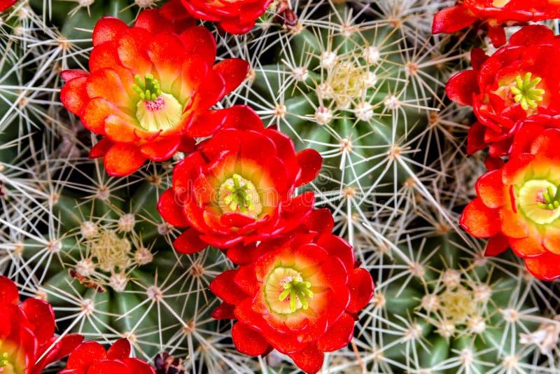 Cactus de baril de floraison avec les fleurs rouges photos stock