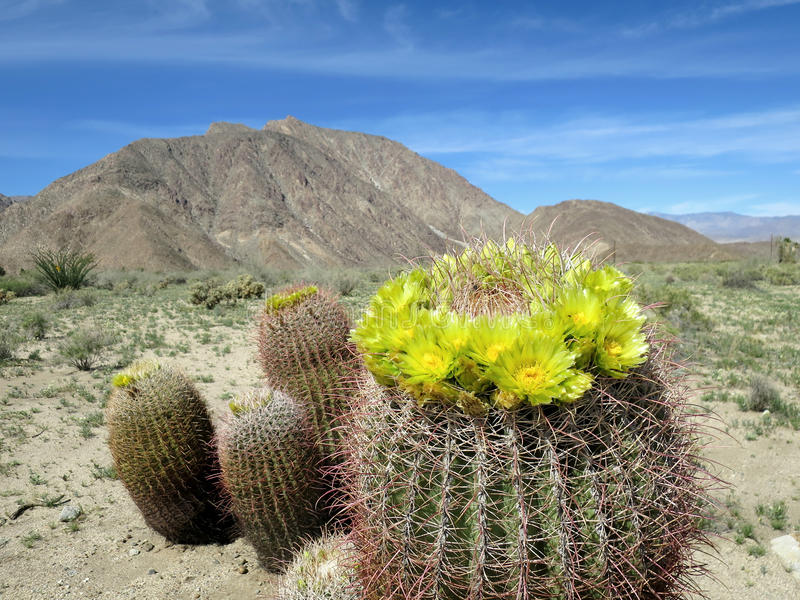 Cactus de baril en fleur images libres de droits