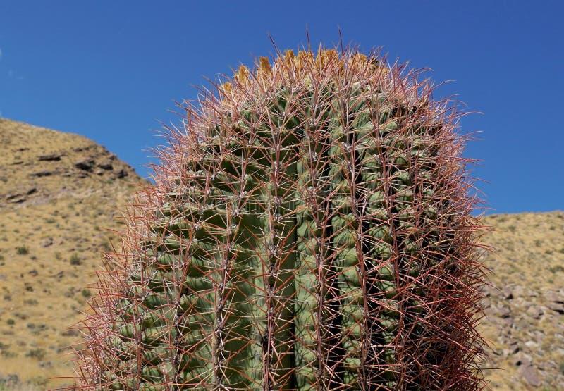 Cactus de baril vers le haut d'?troit et de personnel photo libre de droits