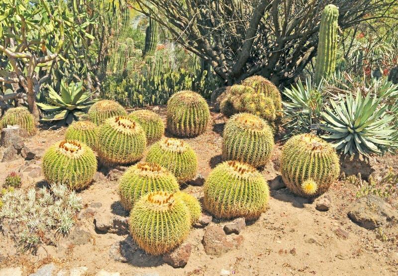 Cactus de barril foto de archivo